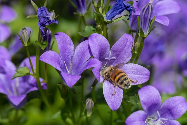 Fleurs Bleues (Hoenheim, France)-103