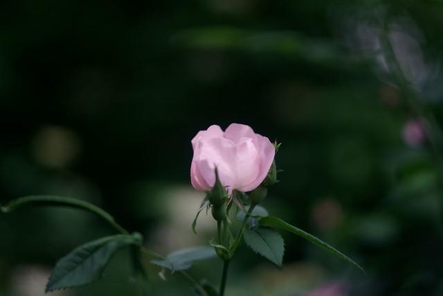Шиповник / Wild rose (5)
