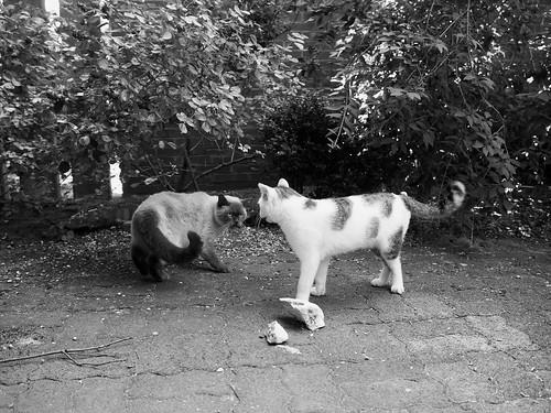 7e5_6193743-cat-fight-1-4