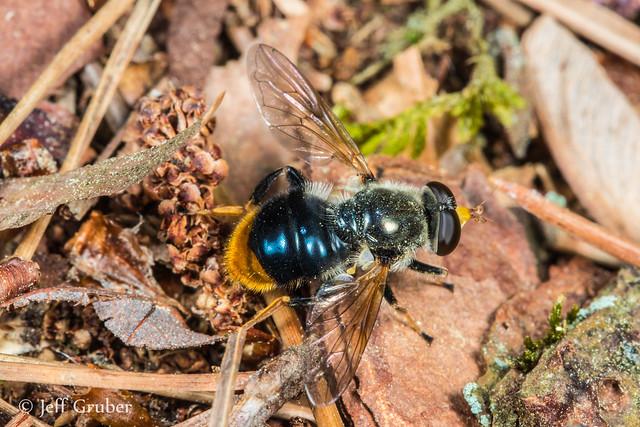 Orange-tailed Wood Fly (Blera analis)