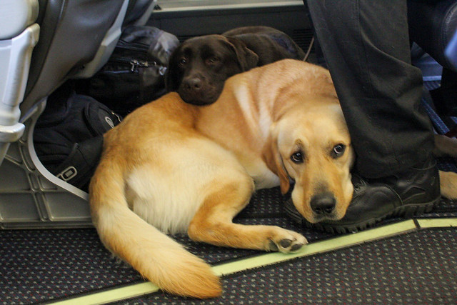 K9 Puppies on the plane