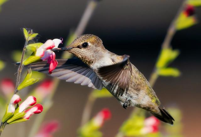 Anna's Hummingbird on Salvia