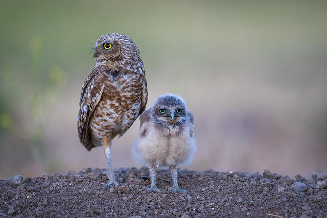 Burrowing Owl and One of Her Owlets