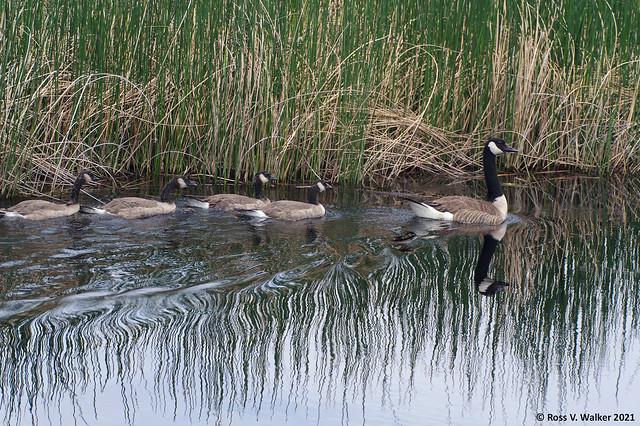 Growing Geese