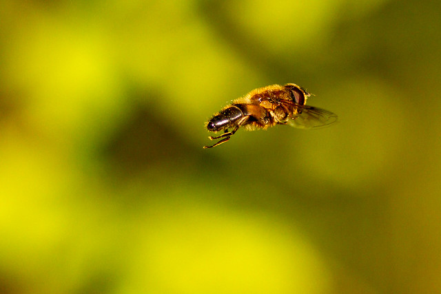 Hovering Hoverfly