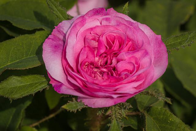 Pink Rose at Mottisfont-2985.jpg