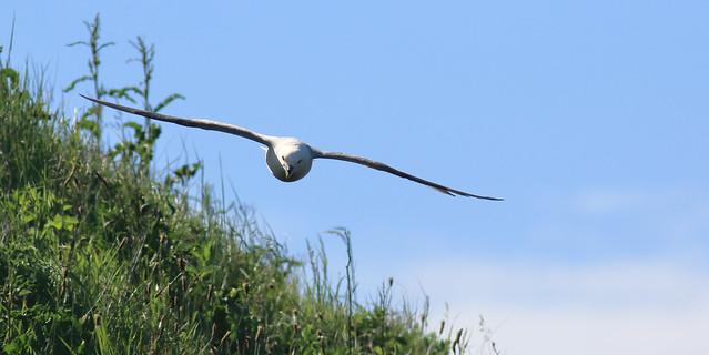 Grass-skimming Fulmar