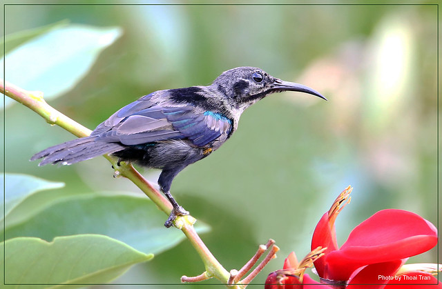 Find nectar - Olive-backed Sunbird ( Male )