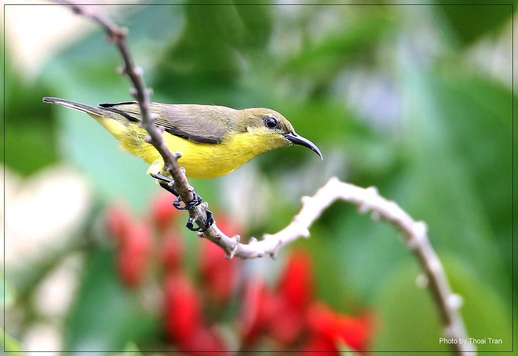 Find nectar 2 - Olive-backed Sunbird ( Female)