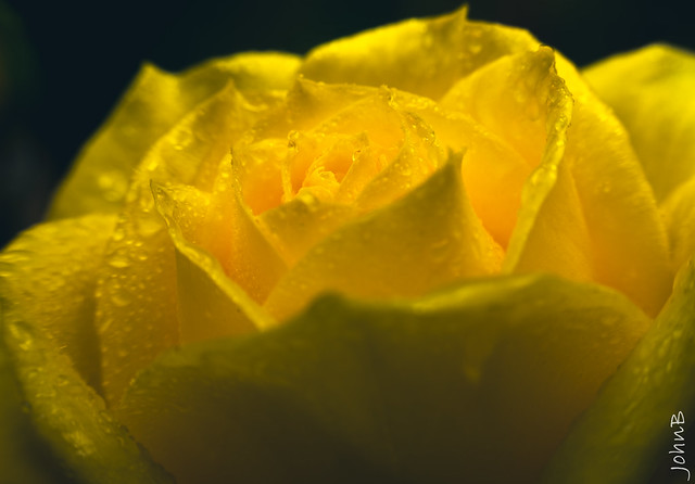 A yellow rose is the promise of a new beginning
