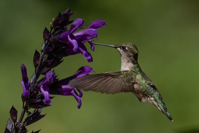 Summer in Michigan and it's a hummingbird on the salvia!