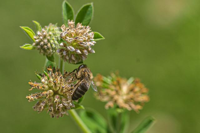 19/06.- Recolectando polen