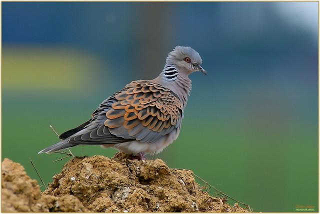 Tourterelle des bois ( Streptopelia turtur - European Turtle Dove )