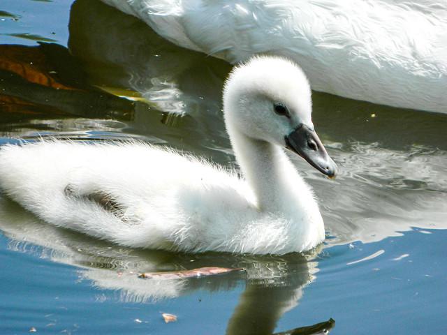 Little Swan / Kleiner Schwan