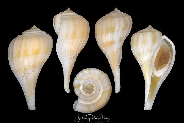 Fulguropsis pyruloides (Say, 1822)
