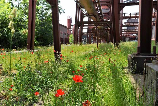 Mohnblumen auf Zollverein