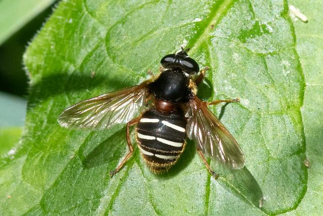 Hoverfly: Sericomyia lappona [Syrphidae]