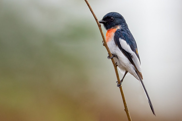 A Rare White Bellied Minivet foraging