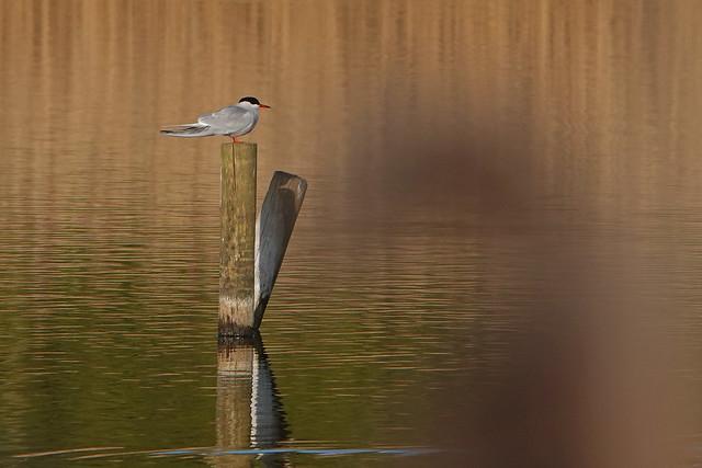 Common Tern Cossington Meadows 24-4-21