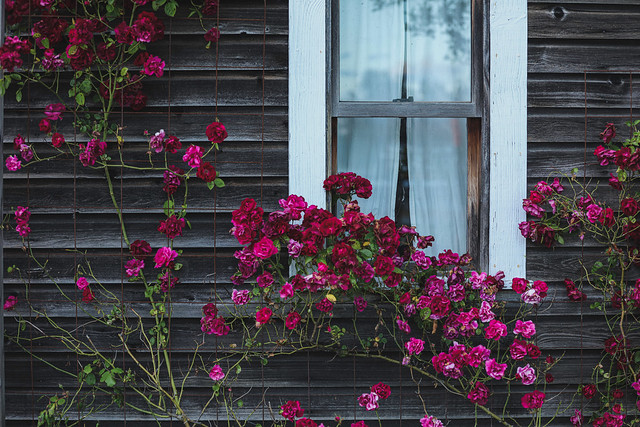 Rose and Window