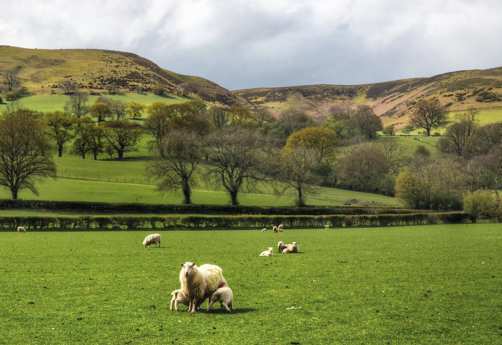 Sheep grazing in the Shropshire Hills