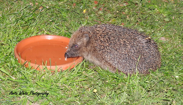 Early Summer Hedgehog