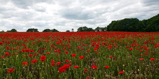 Norfolk Poppy field