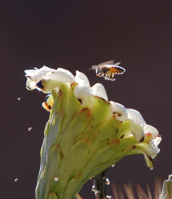 Saguaro Bloom - 8518