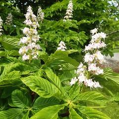 Horse chestnut (Aesculus hippocastanum) blooming