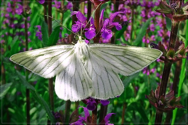 white butterfly :)