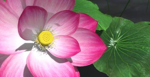 Nelumbo ness - Lotus