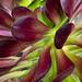 Aeonium arboreum (II), 4.10.18