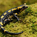 Fire Salamander - Photo (c) Frank Vassen, some rights reserved (CC BY)