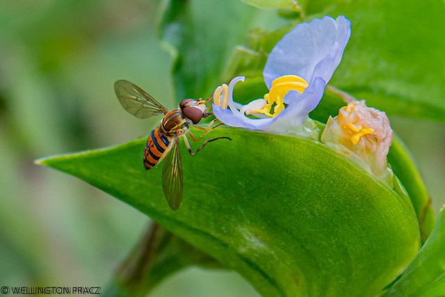 CALLIGRAPHER HOVERFLY
