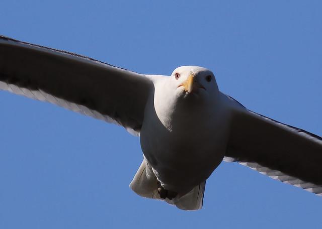 Greater BB Gull