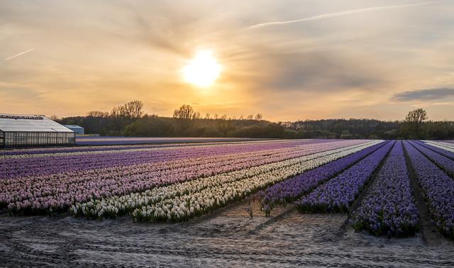 Oosterduinse, Noordwijkerhout, Netherlands 🇳🇱🌺