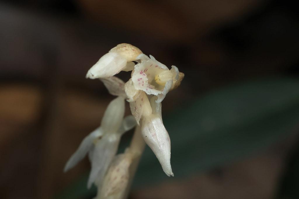 Epipogium roseum (D.Don) Lindl.  タシロラン