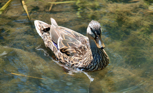 Young Mallard Female Duck