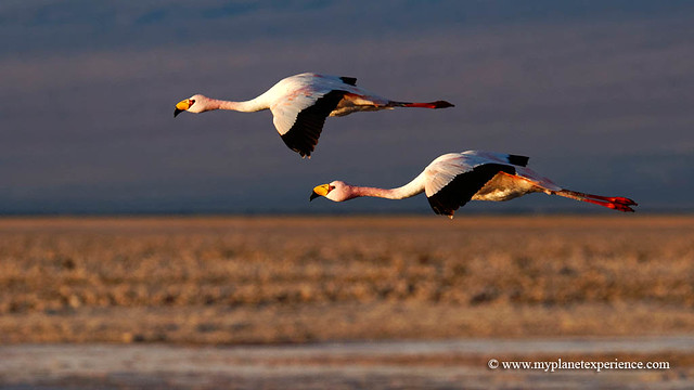 Flamingos in flight over Andes - Chile