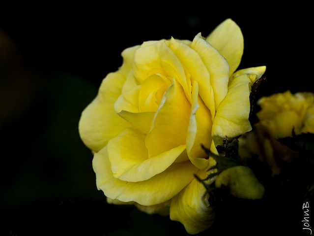♪ ♫ Oh the yellow rose of Texas ♫♪