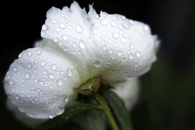 Peony and raindrops...
