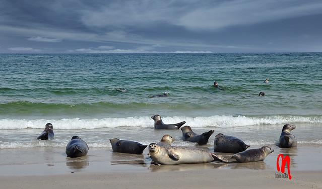 Phot.Helgoland.Dune.Seals.01.070901.0014.jpg