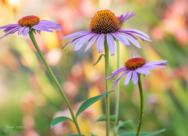 Cone Flowers with lily flowers as background