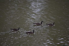 geese and rain