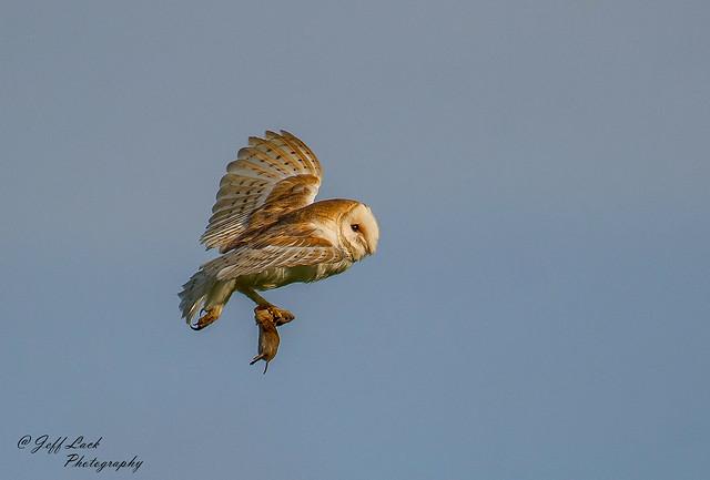 DSC7615  Barn Owl..