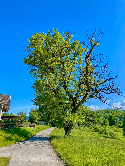 Tree near Oberaudorf in Bavaria, Germany
