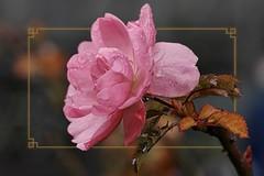 Last Rose on a Rainy Day.