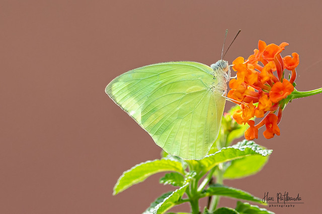 A Common Emigrant Butterfly in action