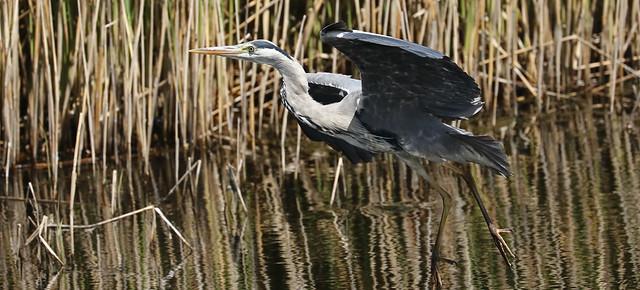 Grey Heron Taking Off.