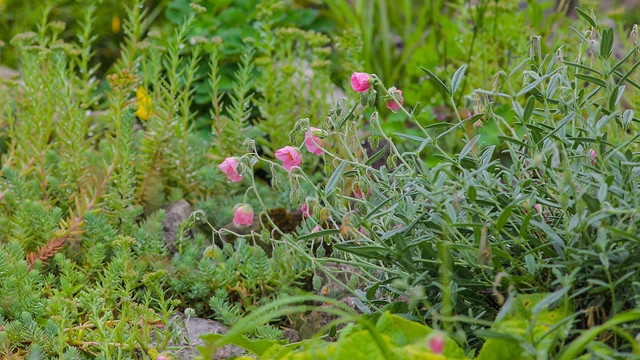 Alpine Garden @ Emmetts Kent NT